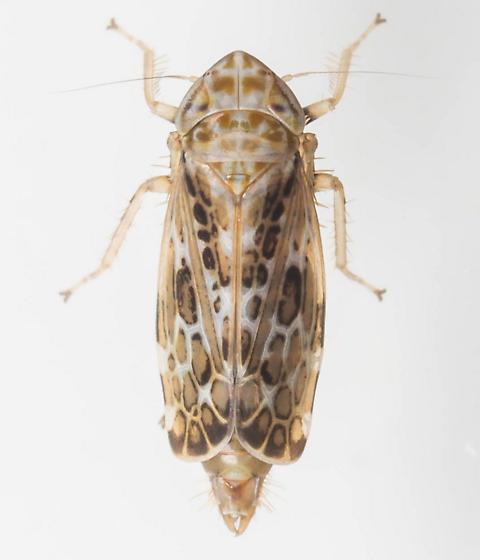 Leafhopper - Errastunus ocellaris - male