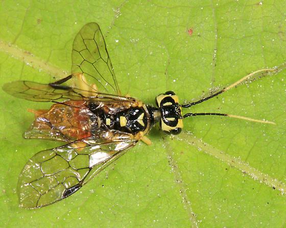 sawfly - Onycholyda luteicornis - female