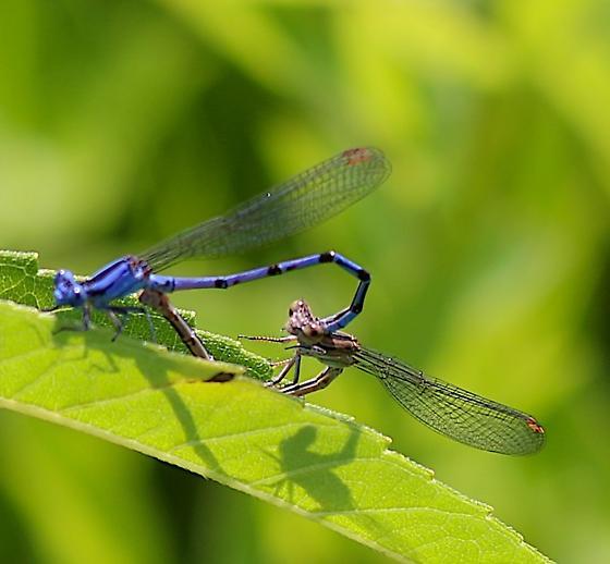 Vivid Dancers Mating - Argia fumipennis - male - female