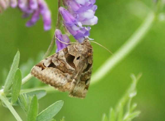 Moth 2 - Euclidia cuspidea