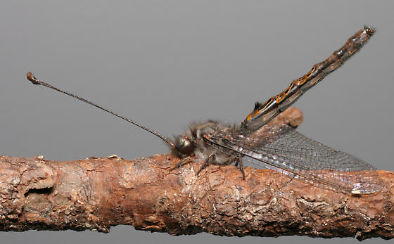 Four-spotted Owlfly - Ululodes quadripunctatus - male