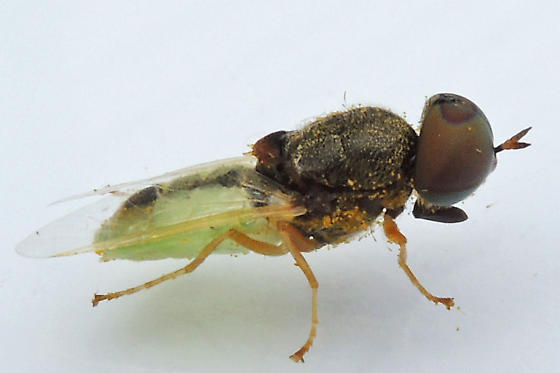 soldier fly - Hedriodiscus - male