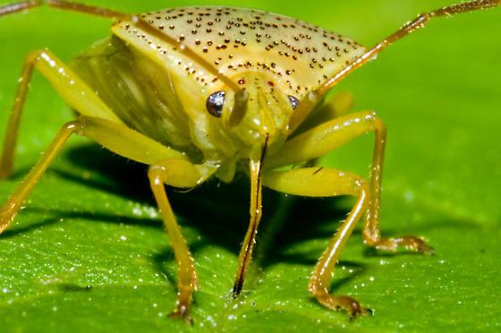 Leaf Hopper??? - Elasmostethus cruciatus