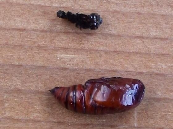 Noctuidae: Spaelotis clandestina? - Spaelotis clandestina