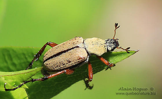 Unknown - Macrodactylus subspinosus