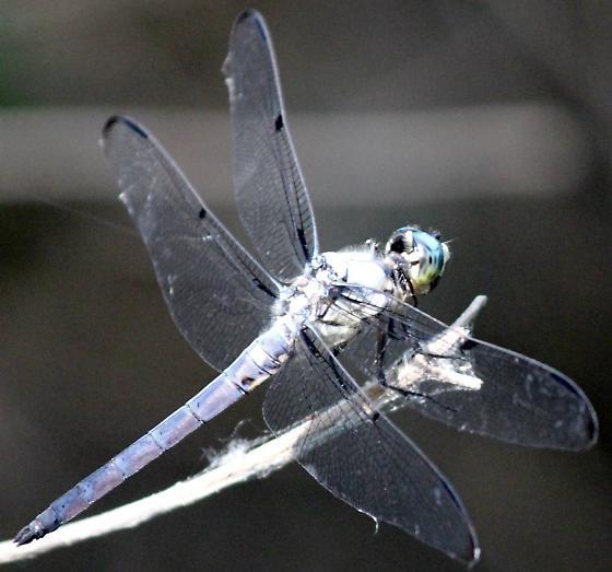 Great Blue Skimmer - Libellula vibrans - male