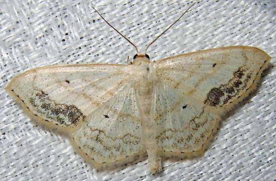 Large Lace-border Moth - Scopula limboundata