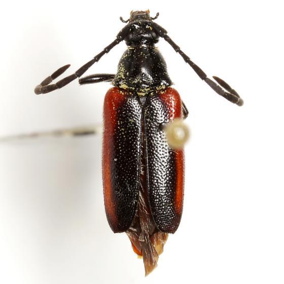 Pseudostrangalia cruentata (Haldeman) - Pseudostrangalia cruentata