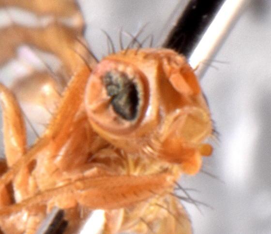 Terellia occidentalis?  - Chaetorellia australis