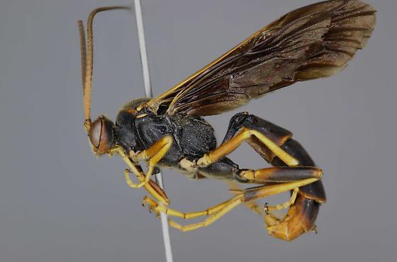 Ichneumon lewisii male - Ichneumon lewisii - female