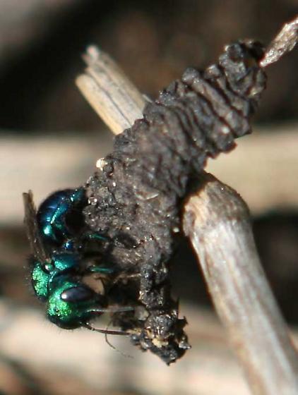 Metallic blue-green bee - Osmia - female