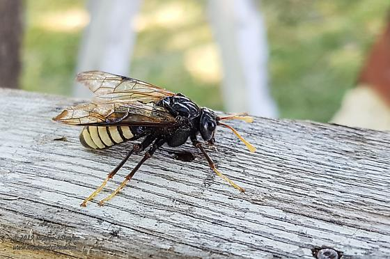 Unknown Hymenopteran - Cimbex americanus