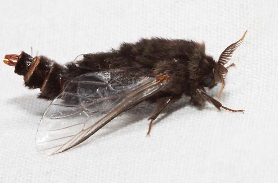 Thyridopteryx ephemeraeformis - male