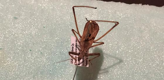 Assassin Bug?