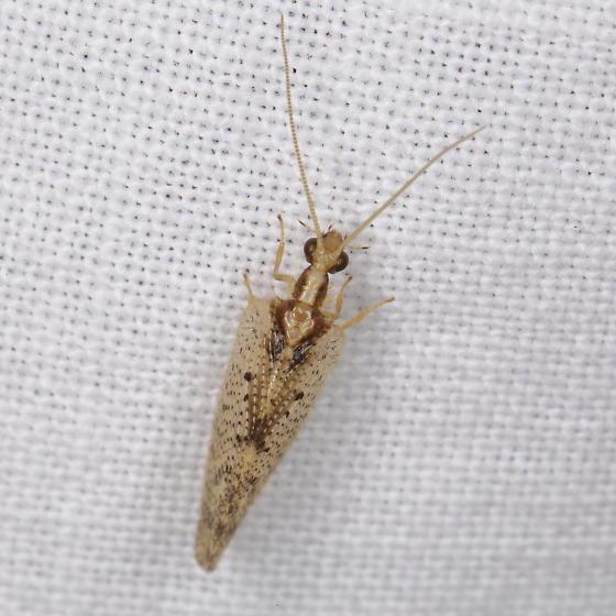 Brown Lacewing, Hemerobius humulinus? - Hemerobius humulinus