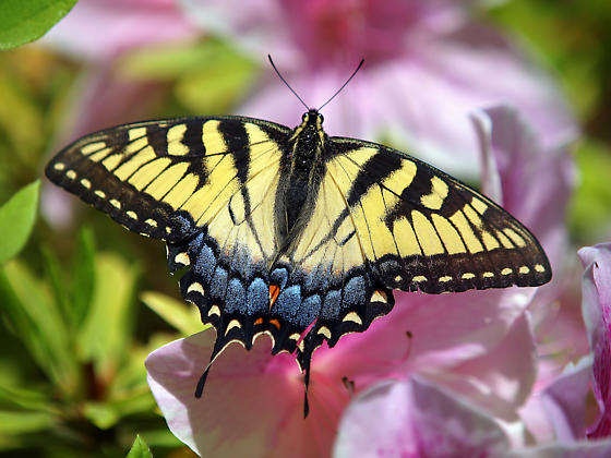 Is this an Eastern or a Western Tiger Swallowtail? - Papilio glaucus - female