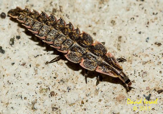 Larvae - Pyractomena