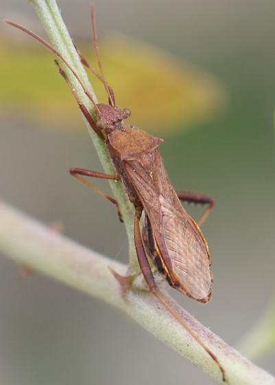 Broad-headed Bug? - Neomegalotomus rufipes
