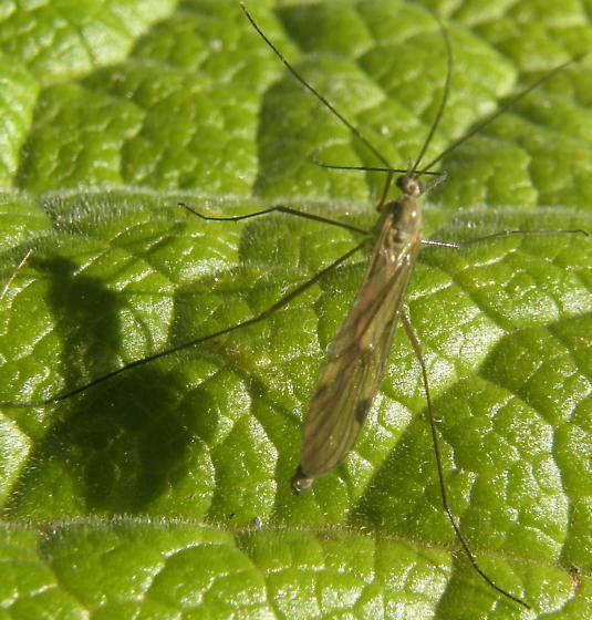 Is this a winter midge? - Cramptonomyia spenceri - male