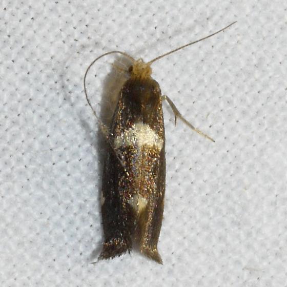 moth - Lampronia