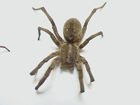 Three Species of Wolf Spiders - Hogna carolinensis - female