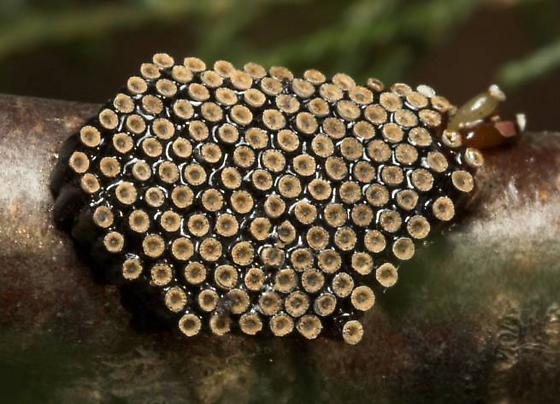 Wheel Bug (Arilus cristatus) Eggs - Arilus cristatus