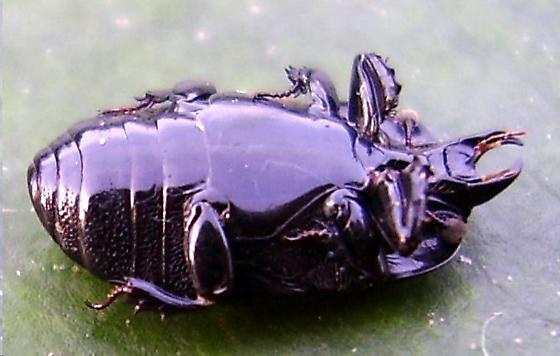 beetle - Hololepta quadridentata