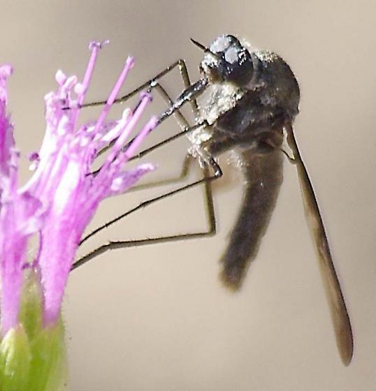 strange fly - Thevenetimyia californica