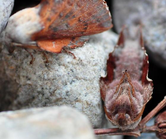 American Lappet Moth, 7687 - Phyllodesma americana