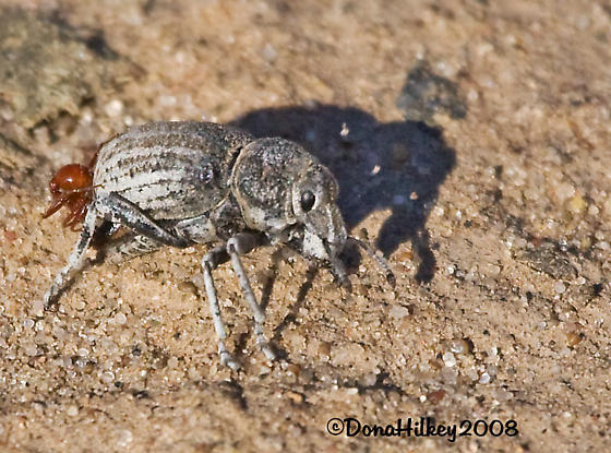 Is this Ophryastes? - Ophryastes sulcirostris