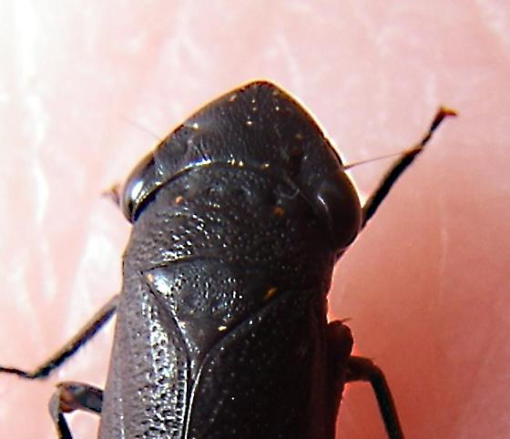 black planthopper? of inland barren dunes new Image 4 of 4 same Individual - Cuerna
