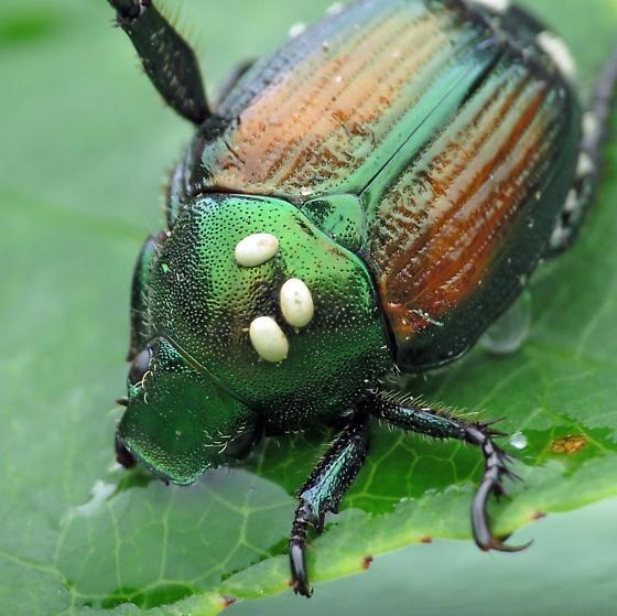 Japanese beetle with Istocheta aldrichi eggs - Istocheta aldrichi