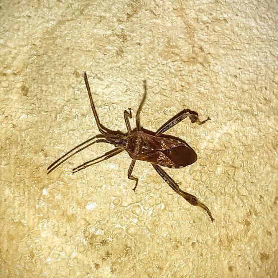Assassin bug - Leptoglossus occidentalis