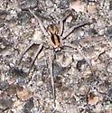 spider - Hogna