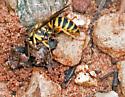 Southern Yellowjacket - Vespula squamosa - male