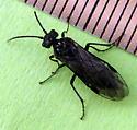 Sawfly - Dolerus nitens