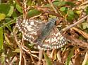 Common Checkered Skipper - Pyrgus communis
