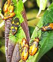 Orange Black Plant Bugs - Oncopeltus fasciatus
