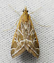 Moth - Pyrausta nexalis