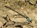 miscellaneous  - Argia apicalis - female