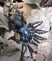 Spider - Ummidia