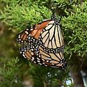 Monarch pair  - Danaus plexippus - male - female