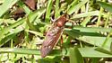 Wasp mimic - Mydas maculiventris