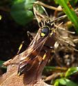 Another Black and Yellow Ichneumon - Diphyus - female