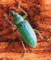 Turquoise - Polydrusus formosus