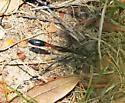 Ichneumonidae - Ammophila