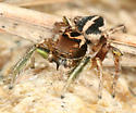 Jumping Spider - Habronattus viridipes - male