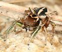 Jumping Spider - Habronattus viridipes - male