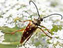 Strangalia luteicornis? - Typocerus