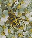 Flower Longhorn - Judolia instabilis